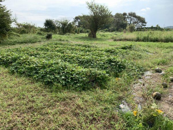 草取り・カボチャ収穫